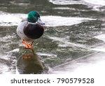 Duck Walking On A Frozen Pond ...
