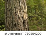 Typical Pine Tree Forest In...