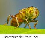 Eristalinus Arvorum Hoverfly ...