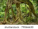 Large Fig Tree Roots In...