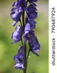 Small photo of Close up view on Aconitum carmichaelii, Chinese wolfsbane Carmichael's monkshood purple flower, Sunny day, Summer, Norway