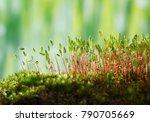 macro of pohlia nutans moss... | Shutterstock . vector #790705669