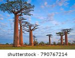 beautiful baobab trees at... | Shutterstock . vector #790767214