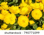 common evening primrose ... | Shutterstock . vector #790771099
