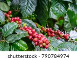 coffee cherries on branch with...   Shutterstock . vector #790784974