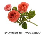 Stock photo rose flowers isolated 790832800