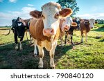 Cows At Cattle Farm In Hungary