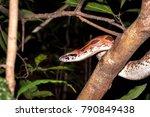 Small photo of Madagascar ground boa (Acrantophis madagascariensis) in a tree, Nosy Komba, Madagascar