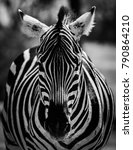 Zebra Portrait In Black And...
