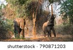elephants in south luangwa... | Shutterstock . vector #790871203