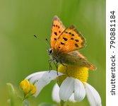 butterfly  lycaena dispar  in... | Shutterstock . vector #790881184