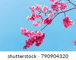 cherry blossoms  located in...   Shutterstock . vector #790904320