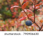 Small photo of A close up of a wild Alaska blueberry hanging from red foliage.
