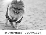 the wear  aggressive spitz dog... | Shutterstock . vector #790991194
