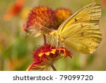 Clouded Sulphur Butterfly On An ...