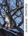 a snow leopard | Shutterstock . vector #790997920
