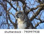 a snow leopard | Shutterstock . vector #790997938
