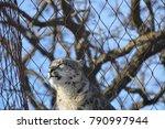 a snow leopard | Shutterstock . vector #790997944
