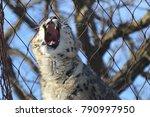 a snow leopard | Shutterstock . vector #790997950