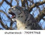 a snow leopard | Shutterstock . vector #790997968