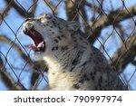 a snow leopard | Shutterstock . vector #790997974