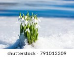 snowdrops rising from the snow...   Shutterstock . vector #791012209