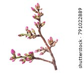 Stock photo the era of flowering almonds spring pink almond flowers on branches without leaves isolated on 791022889