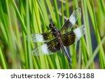 Widow Skimmer Dragonfly Perche...