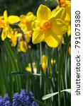 Yellow Daffodils With Grape...