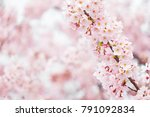 sakura or cherry blossom flower ... | Shutterstock . vector #791092834