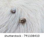 ticks on white hair of dog... | Shutterstock . vector #791108410