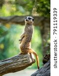 meerkat standing on trunk. | Shutterstock . vector #791119339