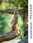 meerkat standing on trunk. | Shutterstock . vector #791119339