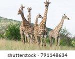 south african giraffe  giraffa  ... | Shutterstock . vector #791148634