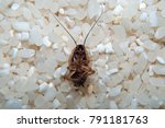 deceased cockroach from means... | Shutterstock . vector #791181763