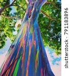 Rainbow Eucalyptus Tree From O...