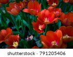 Spring Scenes Of Red Tulips...