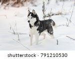 siberian husky dog black and... | Shutterstock . vector #791210530