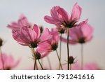 close up pink cosmos flower in... | Shutterstock . vector #791241616