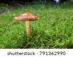 chalciporus piperatus   edible...   Shutterstock . vector #791362990