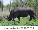 white rhino at ziwa rhino... | Shutterstock . vector #791369014