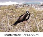 female magnificent frigatebird  ... | Shutterstock . vector #791372074