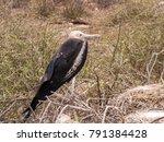female magnificent frigatebird  ... | Shutterstock . vector #791384428