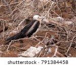 female magnificent frigatebird  ... | Shutterstock . vector #791384458