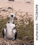 young magnificent frigatebird ... | Shutterstock . vector #791384698