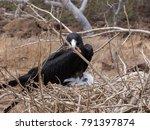 male magnificent frigatebird ... | Shutterstock . vector #791397874