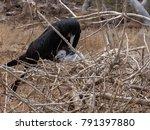 male magnificent frigatebird ... | Shutterstock . vector #791397880