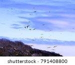 flying magnificent frigatebird  ... | Shutterstock . vector #791408800