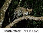 very rare ocelot in the night...   Shutterstock . vector #791411464