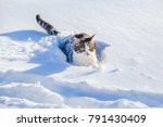 Funny Gray Tabby Cat With...